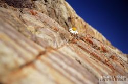 daisy in the rock