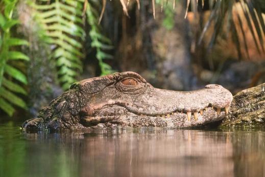 alligator-2151574_960_720