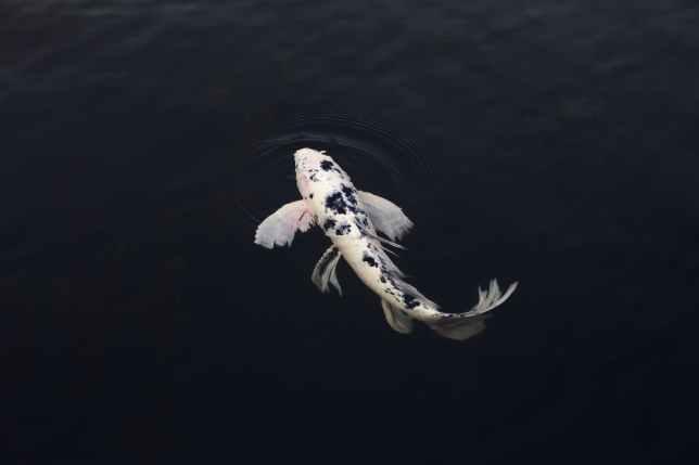white and black koi fish